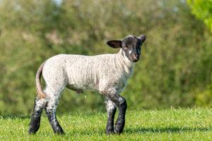 Deutschland, Niedersachsen, Ostfriesland, Emden, Schafe weiden auf dem Seedeich.