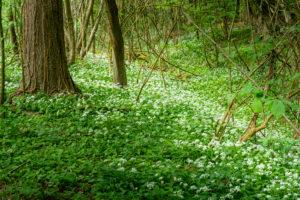 Bärlauch (Allium ursinum), Pflanzenart aus der Gattung Allium.