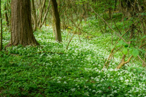 Wild garlic (Allium ursinum), plant species from the Allium genus.