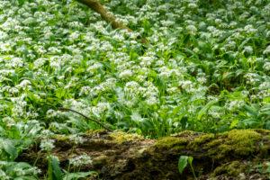 Wild garlic (Allium ursinum), plant species from the Allium genus.