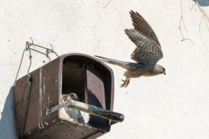 Kestrel (Falco tinnunculus) male on nesting box, departure.