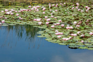 Germany, Baden-Württemberg, Au a. Rhine, water lilies (Nymphaea).