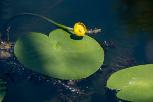 Germany, Baden-Württemberg, Au a. Rhine, water lilies (Nymphaea), yellow pond rose, yellow pond mummel, mummel, pond mummel or pond candle called (Nuphar luteum)