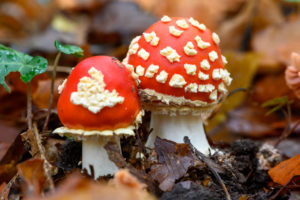 Toadstool (Amanita muscaria), red toadstool, poisonous mushroom species.