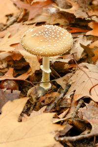 Panther Mushroom (Amanita pantherina) a type of mushroom from the Amanitaceae family.