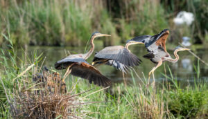 Purple Heron (Ardea purpurea) in flight. [M]