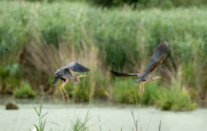 Germany, Baden-Wuerttemberg, Wagbach lowlands, purple heron (Ardea purpurea) in flight.
