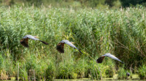 Germany, Baden-Wuerttemberg, Wagbach lowlands, purple heron (Ardea purpurea) in flight. [M]