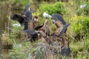 Germany, Baden-Wuerttemberg, Wagbach lowlands, purple heron (Ardea purpurea) in their nest.