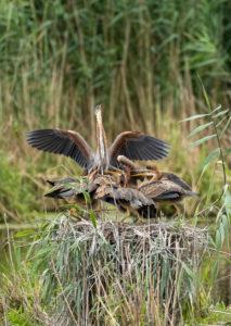 Deutschland, Baden-Württemberg, Wagbachniederung, Purpurreiher (Ardea purpurea) in ihrem Nest.