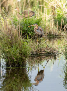Germany, Baden-Wuerttemberg, Wagbach lowlands, purple heron (Ardea purpurea).