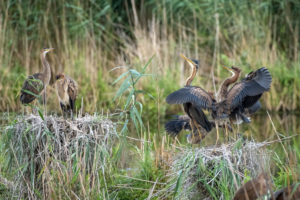 Purple Heron (Ardea purpurea) in their nest.