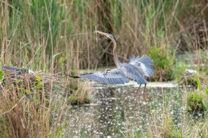 Purple heron (Ardea purpurea) with reeds for nest building.