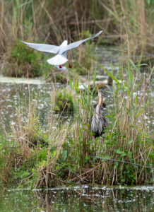 Purple heron (Ardea purpurea) is attacked by a black-headed gull.
