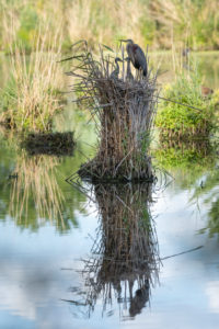 Purple Heron (Ardea purpurea) in their nest with chicks.