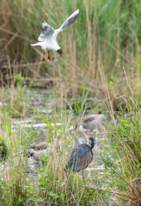 Purple heron (Ardea purpurea) is attacked by a black-headed gull.