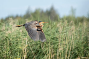 Purple Heron (Ardea purpurea) in flight.