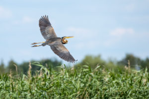 Germany, Baden-Wuerttemberg, Wagbach lowlands, purple heron (Ardea purpurea) in flight.