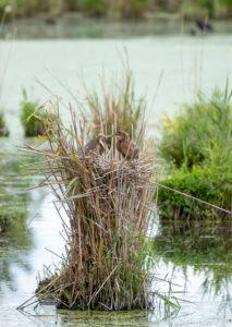 Germany, Baden-Wuerttemberg, Wagbach lowlands, purple heron (Ardea purpurea) in their nest.