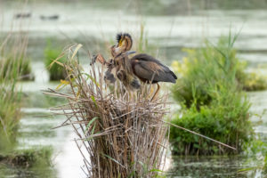 Germany, Baden-Wuerttemberg, Wagbach lowlands, purple heron (Ardea purpurea) feeding the young birds.