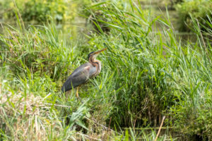 Germany, Baden-Wuerttemberg, Wagbach lowlands, purple heron (Ardea purpurea) at its nest.