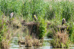Purple Heron (Ardea purpurea) in their nest with young.