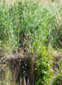 Purpurreiher (Ardea purpurea) in ihrem Nest mit Jungen.