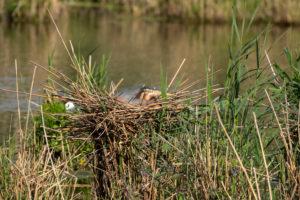 Deutschland, Baden-Württemberg, Wagbachniederung, Purpurreiher (Ardea purpurea) im Nest.