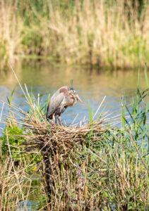 Germany, Baden-Wuerttemberg, Wagbach lowlands, purple heron (Ardea purpurea) in the nest.