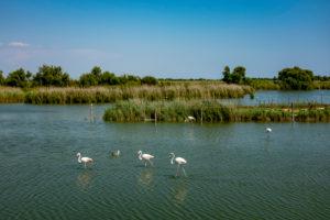 Flamingos in the Parc Ornithologique du Pont de Gau, Oiseaux de Camargue, Southern France