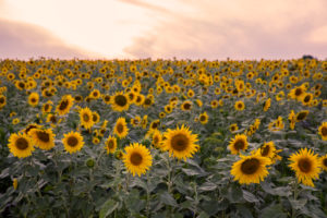 Sunflower field in the evening light