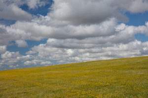 Yellow flower meadow, blue sky, clouds, North Sea