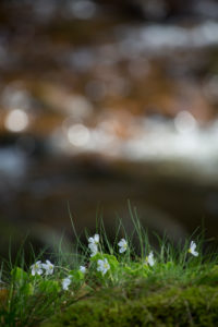Buschwindröschen im Wald, Anemone nemorosa