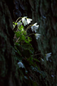 Buschwindröschen an Felswand, Anemone nemorosa