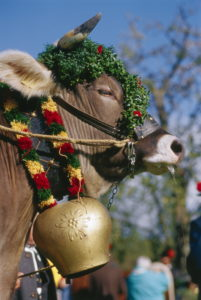 Germany, Upper Bavaria, Bichl,  Ox ride, ox, flowers, Side portrait Europe, Bavaria, cow, cow, big livestock, livestock, flowers, bell, cow bell, decorated on the side, traditions, tradition, fun, enjoyments, attraction,  Ox races, summer, Pfingstochse