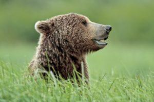 North America, the USA, Alaska, Katmai national park, Kukak Bay, brown bear, Ursus arctos,