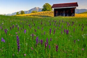 Germany, Bavaria, Upper Bavaria, Werdenfelser Land, Bavarian Alps, Broad-leaved Marsh Orchid, Dactylorhiza