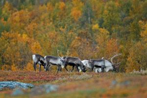 Europe, Sweden, Lapland, Norrbotten, Stora Sjöfallet national park, reindeers,