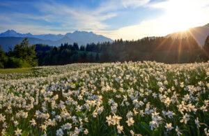 Slovenia, Julische alps, Jeseniska Planina, narcissi (Narcissus poeticus) in front of the Julischen alps