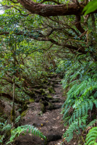 Hiking trail 'Bosque Encantado' with moss-covered trees and ferns in the cloud forest of the Anaga Mountains, Tenerife, Spain