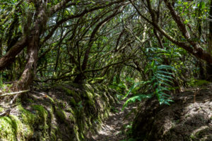 Hiking trail 'Bosque Encantado' with moss-covered trees in the cloud forest of the Anaga Mountains, Tenerife, Spain