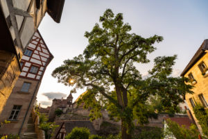 Large tree in the evening light with a view of the moat, Cadolzburg, Franconia, Bavaria, Germany