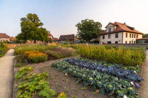 Vegetable growing in the castle gardens of Cadolzburg Castle in the evening light, Cadolzburg, Franconia, Bavaria, Germany