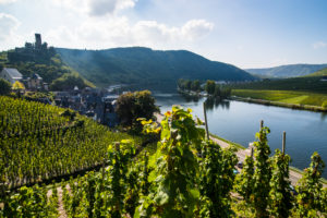 Vineyard in Beilstein, Moselle valley, Rhineland-Palatinate, Germany