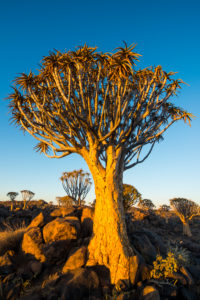 Quiver tree forest (Aloe dichotoma) at sunset, Gariganus farm, Ketmanshoop, Namibia