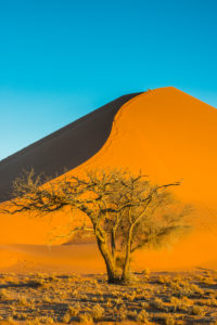 Acacia tree before the  giant sand Dune 45, Namib-Naukluft National Park, Namibia