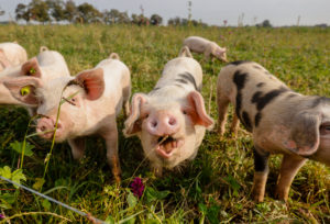 Kamp-Lintfort, North Rhine-Westphalia, Germany - organic farming NRW, organic pigs, pasture pigs, free-range pigs live on the Bioland farm Frohnenbruch all year round in the open air, as weather protection there is only an open shelter.