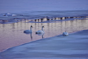 Swans at the Jerisjärvi