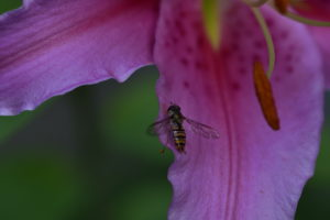 Hoverfly on blossom