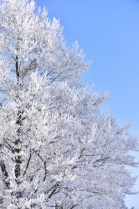 Alder with hoarfrost